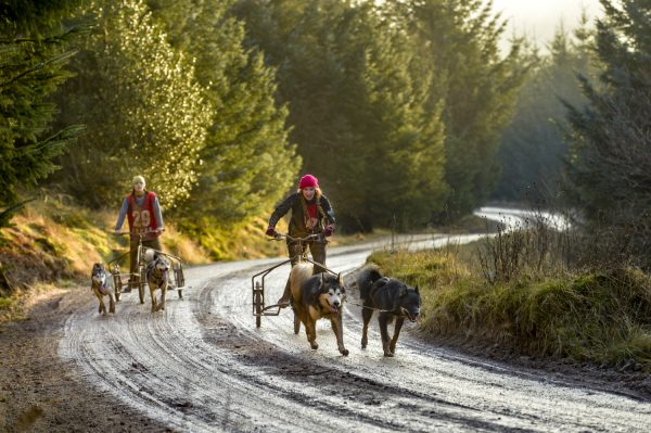 No snow for sled dog teams competing at Greystoke Forest